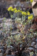 Eriogonum umbellatum var. speciosum