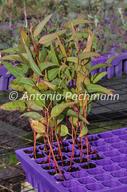 Eucalyptus arachnaea
