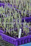 Rhagodia sp. / chenopodium