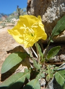 Oenothera primiveris ssp. primiveris