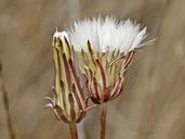 Agoseris grandiflora var. grandiflora