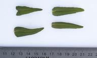 Collinsia heterophylla var. heterophylla