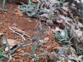 Silene campanulata ssp. campanulata