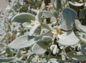 Tidestromia suffruticosa var. oblongifolia