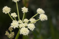 Angelica kingii