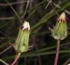 Taraxacum ceratophorum