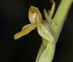 Platanthera tescamnis