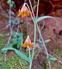 Fritillaria eastwoodiae