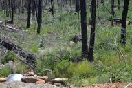 Carex cyrtostachya