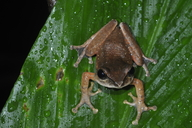 Reticulate Tree Frog