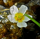 Ranunculus aquatilis var. diffusus