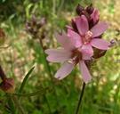 Sidalcea oregana ssp. spicata