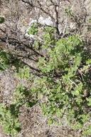 Rhus aromatica var. pilosissima