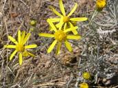 Senecio flaccidus var. flaccidus
