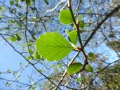 Cercocarpus betuloides var. macrourus