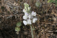 Lupinus excubitus var. hallii