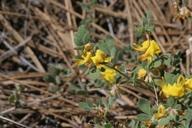 Lotus nevadensis var. nevadensis