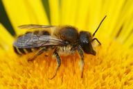 Megachile ericetorum