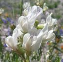 Astragalus miser var. oblongifolius