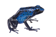 Blue Dyeing Poison-dart Frog