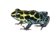 Variable Poison-dart Frog