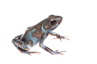 Blue And Green Poison-dart Frog