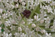 Daucus carota ssp. carota