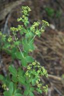 Galium sparsiflorum ssp. sparsiflorum