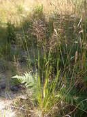 Calamagrostis bolanderi