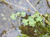 Ranunculus aquatilis var. aquatilis