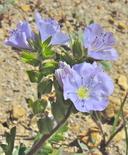 Phacelia ciliata var. ciliata