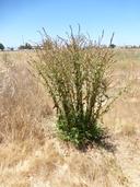 Beta vulgaris ssp. maritima