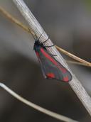 Tyria jacobaeae