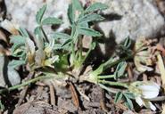 Trifolium gymnocarpon
