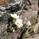 Polemonium pulcherrimum var. pilosum