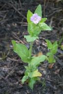 Epilobium ciliatum ssp. glandulosum