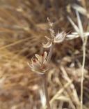 Trifolium striatum