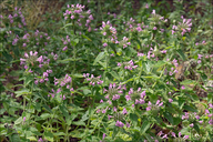 Clinopodium vulgare ssp. vulgare