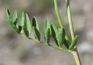 Astragalus bisulcatus var. major