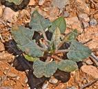 Eriogonum abertianum