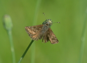 Erynnis tages