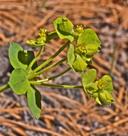 Euphorbia schizoloba
