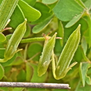 Oxalis albicans