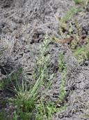 Chenopodium nitens