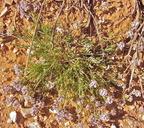Astragalus miser