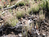 Galium angustifolium ssp. gabrielense