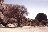 Quercus Xmunzii