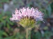 Monardella hypoleuca ssp. hypoleuca