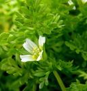 Limnanthes douglasii ssp. ornduffii