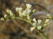 Eriogonum plumatella